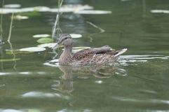 Canard femelle sur le lac Image libre de droits