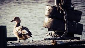 Canard femelle sur un plattform image stock