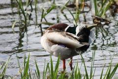 Canard gai Image libre de droits