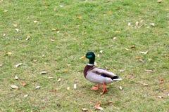 Canard gai en automne pour une promenade photographie stock