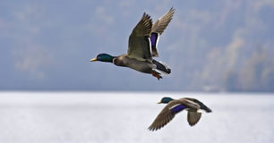 Canard(ial) competitors. Two male mallards in flight Royalty Free Stock Photography