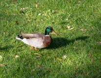 Canard indigène Photo libre de droits