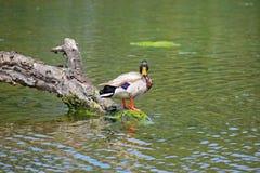 Canard kaki de Campbell Image stock