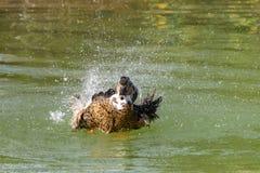 Canard lavant, éclaboussant et lissant dans un lac images libres de droits