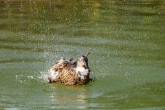 Canard lavant, éclaboussant et lissant dans un lac images stock