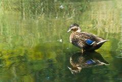 Canard mâle de colvert Image stock