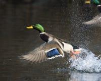 Canard mâle de colvert en vol Photographie stock libre de droits