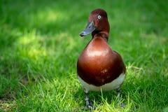 Canard mâle sauvage image stock