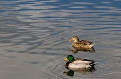 Canard mûr de poule et de canard dans un étang calme en Boise Idaho Photos stock