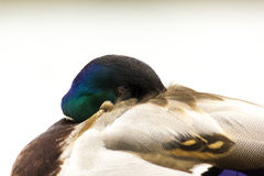 Canard/Mallard Images stock