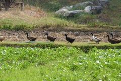 Canard marchant près du gisement de fèves de mung images stock