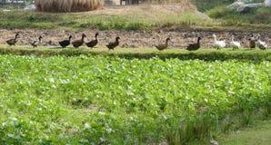Canard marchant près du gisement de fèves de mung image stock