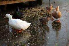 Canard marchant sur l'eau Images libres de droits