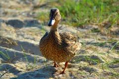 Canard marchant sur le sable images libres de droits