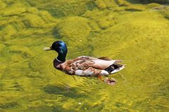 Canard masculin dans l'eau Image stock