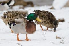 Canard masculin dans la neige avec d'autres à l'arrière-plan Images libres de droits