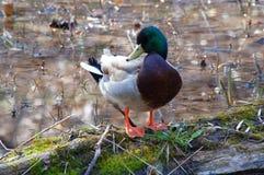 Canard masculin de canard tenant sur l'identifiez-vous putréfié l'eau Photos stock