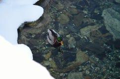 Canard masculin de canard en mer froide Photographie stock