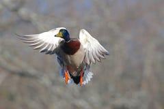 Canard masculin de Mallard en vol dans l'automne Photos libres de droits