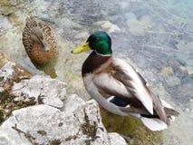 Canard masculin et femelle de canard détendant sur le rivage de lac Photos libres de droits