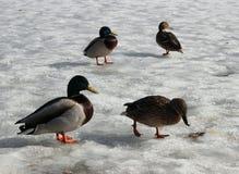Canard masculin et femelle de canard marchant sur la glace de fonte Étang de Karpin Image libre de droits