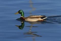 Canard masculin ou canard sauvage, platyrhynchos d'ana, portrait Photos stock