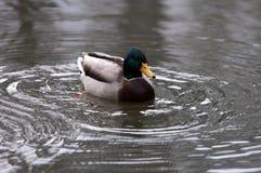 Canard masculin sauvage dans un étang Image stock