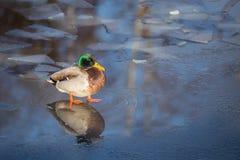 Canard masculin se tenant sur la glace mince avec ses pieds dans l'eau Image libre de droits