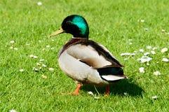 Canard masculin simple de canard marchant dans l'herbe Images libres de droits