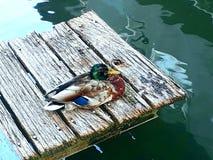Canard mignon dormant sur le canal Image libre de droits