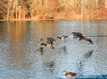 Canard mignon jouant dans l'étang Photographie stock