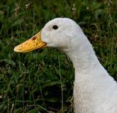 Canard modifié Photographie stock libre de droits