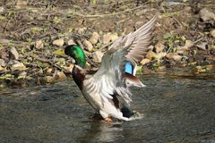 Canard montant Photo stock