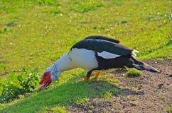 Canard muet sur l'herbe image libre de droits