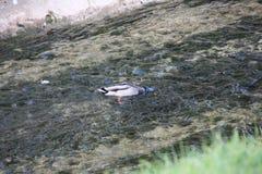 Canard naviguant au schnorchel ayant un temps espiègle image libre de droits