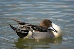 Canard nordique de canard pilet Photographie stock libre de droits