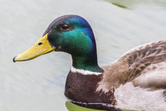 Canard o l'eau images stock