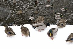 Canard par l'eau en parc Images libres de droits