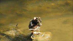 Canard par le lac banque de vidéos