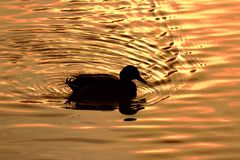 Canard par le moonlicht Photographie stock libre de droits