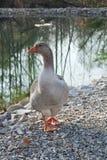 Canard par le rivage de lac photographie stock