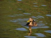 Canard passant le lac Photographie stock libre de droits
