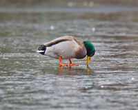 Canard perplexe de Mallard Photographie stock libre de droits