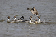 Canard pilet du nord, acuta d'ana, Photos libres de droits