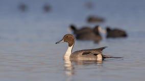 Canard pilet du nord sur la mer propre Photos libres de droits