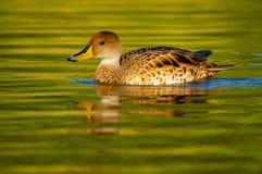 canard pilet Jaune-affiché Photographie stock