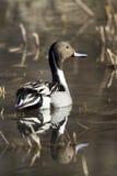 Canard pilet nordique, acuta d'ana Images stock