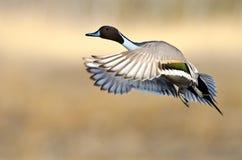 Canard pilet nordique (acuta d'ana) photographie stock