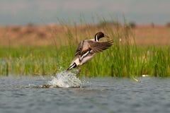 Canard pilet nordique lancé photo libre de droits