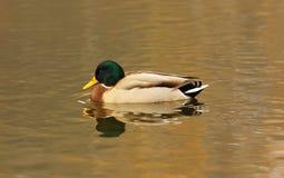 Canard près du lac Image libre de droits
